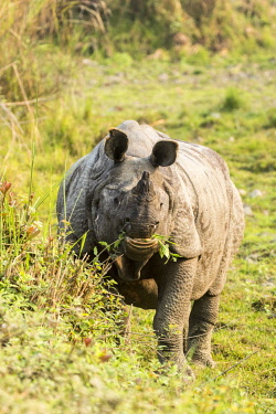 HMS2309959 India, Assam, Kaziranga national park, listed as World Heritage by UNESCO, indian rhinoceros (Rhinoceros unicornis), male feeding