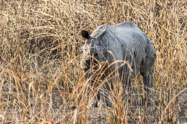 HMS2309964 India, Assam, Kaziranga national park, listed as World Heritage by UNESCO, indian rhinoceros (Rhinoceros unicornis), male