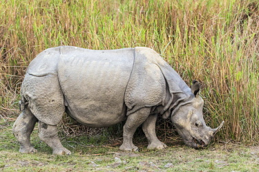 HMS2309969 India, Assam, Kaziranga national park, listed as World Heritage by UNESCO, indian rhinoceros (Rhinoceros unicornis), female