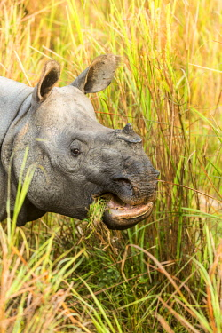 HMS2309973 India, Assam, Kaziranga national park, listed as World Heritage by UNESCO, indian rhinoceros (Rhinoceros unicornis), close-up