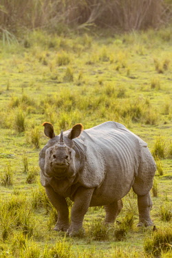 HMS2309980 India, Assam, Kaziranga national park, listed as World Heritage by UNESCO, indian rhinoceros (Rhinoceros unicornis), male
