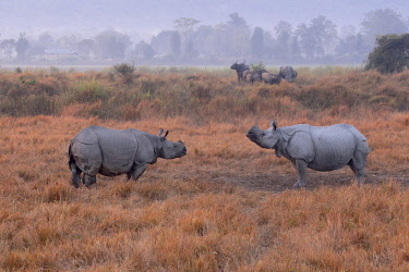 HMS3184475 India, State of Assam, Kaziranga National Park, Asian One-horned rhino or Indian Rhinoceros or Greater One-horned Rhinoceros (Rhinoceros unicornis), Population estimated at 2,300 individuals, two-thir...