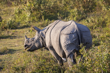 HMS3184507 India, State of Assam, Kaziranga National Park, Asian One-horned rhino or Indian Rhinoceros or Greater One-horned Rhinoceros (Rhinoceros unicornis), Population estimated at 2,300 individuals, two-thir...