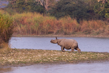 HMS3184509 India, State of Assam, Kaziranga National Park, Asian One-horned rhino or Indian Rhinoceros or Greater One-horned Rhinoceros (Rhinoceros unicornis), Population estimated at 2,300 individuals, two-thir...