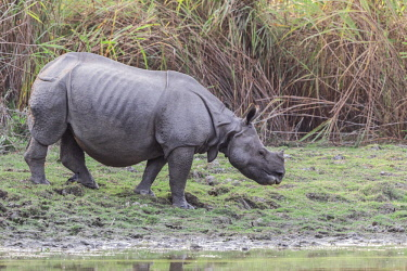 HMS3184512 India, State of Assam, Kaziranga National Park, Asian One-horned rhino or Indian Rhinoceros or Greater One-horned Rhinoceros (Rhinoceros unicornis), Population estimated at 2,300 individuals, two-thir...