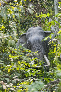 HMS3184530 India, State of Assam, Kaziranga National Park, Asian Elephant (Elephas maximus), wild in the forest