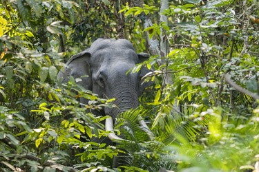 HMS3184531 India, State of Assam, Kaziranga National Park, Asian Elephant (Elephas maximus), wild in the forest