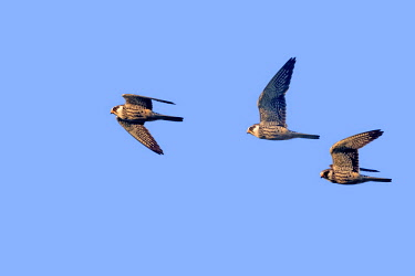 HMS3113506 India, Nagaland province, Amur falcon (Falco amurensis) (Falco vespertinus var. amurensis), up to one million birds are concentrated in Nagaland on their migration route to southern Africa