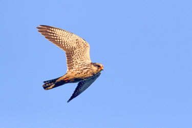HMS3113529 India, Nagaland province, Amur falcon (Falco amurensis) (Falco vespertinus var. amurensis), up to one million birds are concentrated in Nagaland on their migration route to southern Africa