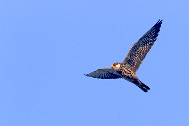 HMS3113532 India, Nagaland province, Amur falcon (Falco amurensis) (Falco vespertinus var. amurensis), up to one million birds are concentrated in Nagaland on their migration route to southern Africa