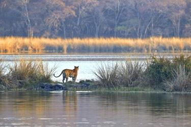 HMS2187897 India, Rajasthan state, Ranthambore National Park, Bengal Tiger (Panthera tigris tigris), traverse un marais à la nage