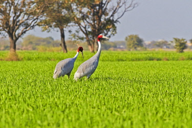 HMS2188101 India, Rajasthan state, Bharatpur, Sarus crane (Grus antigone), in the fields