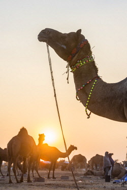 HMS2189806 India, Rajasthan state, Nagaur, the Nagaur cattle fair is the largest fair of its kind in the country