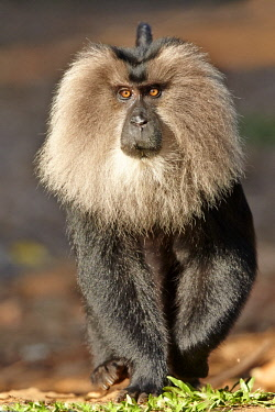 India, Tamil Nadu state, Anaimalai Mountain Range (Nilgiri hills), Lion-tailed macaque (Macaca silenus), or the Wanderoo, The lion-tailed macaque ranks among the rarest and most threatened primates, a...