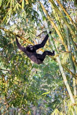 HMS2653499 India, Tripura state, Gumti wildlife sanctuary, Western hoolock gibbon (Hoolock hoolock), adult male