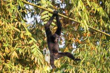 HMS2653501 India, Tripura state, Gumti wildlife sanctuary, Western hoolock gibbon (Hoolock hoolock), adult male