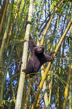 HMS2653514 India, Tripura state, Gumti wildlife sanctuary, Western hoolock gibbon (Hoolock hoolock), adult male