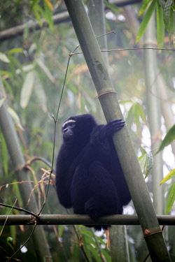 HMS2653518 India, Tripura state, Gumti wildlife sanctuary, Western hoolock gibbon (Hoolock hoolock), adult male