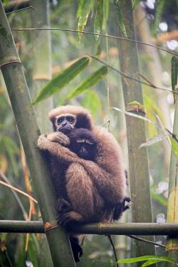 HMS2653519 India, Tripura state, Gumti wildlife sanctuary, Western hoolock gibbon (Hoolock hoolock), adult female with baby