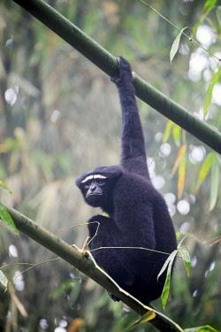 HMS2653520 India, Tripura state, Gumti wildlife sanctuary, Western hoolock gibbon (Hoolock hoolock), adult male