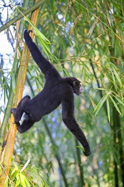 HMS2653523 India, Tripura state, Gumti wildlife sanctuary, Western hoolock gibbon (Hoolock hoolock), adult male
