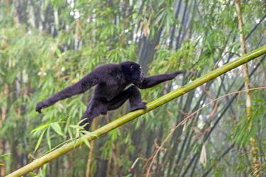 HMS2653527 India, Tripura state, Gumti wildlife sanctuary, Western hoolock gibbon (Hoolock hoolock), adult male