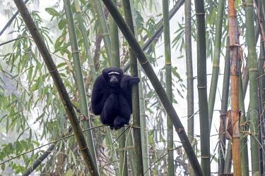 HMS2653532 India, Tripura state, Gumti wildlife sanctuary, Western hoolock gibbon (Hoolock hoolock), adult male