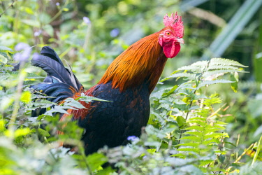 HMS2653538 India, Tripura state, Red Junglefowl (Gallus gallus) , male, wild