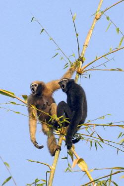 HMS2653557 India, Tripura state, Gumti wildlife sanctuary, Western hoolock gibbon (Hoolock hoolock), adult male and female