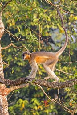 HMS2653562 India, Tripura state, Trishna wildlife sanctuary, Capped langur (Trachypithecus pileatus)
