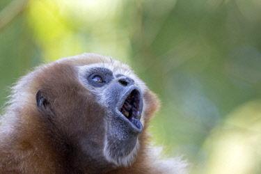 HMS2653565 India, Tripura state, Gumti wildlife sanctuary, Western hoolock gibbon (Hoolock hoolock), adult female howling