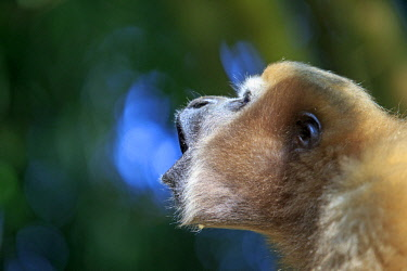HMS2653574 India, Tripura state, Gumti wildlife sanctuary, Western hoolock gibbon (Hoolock hoolock), adult female howling