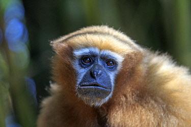 HMS2653576 India, Tripura state, Gumti wildlife sanctuary, Western hoolock gibbon (Hoolock hoolock), adult female
