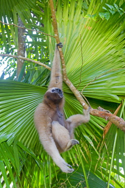 HMS2653577 India, Tripura state, Gumti wildlife sanctuary, Western hoolock gibbon (Hoolock hoolock), adult female howling