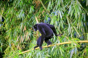 HMS2653578 India, Tripura state, Gumti wildlife sanctuary, Western hoolock gibbon (Hoolock hoolock), adult male