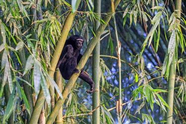 HMS2653580 India, Tripura state, Gumti wildlife sanctuary, Western hoolock gibbon (Hoolock hoolock), adult male