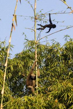 HMS2653581 India, Tripura state, Gumti wildlife sanctuary, Western hoolock gibbon (Hoolock hoolock), adult female with baby