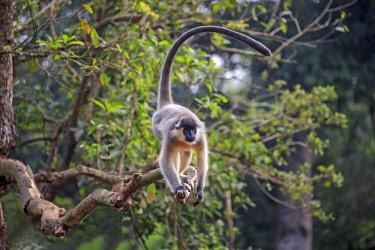 HMS2653586 India, Tripura state, Trishna wildlife sanctuary, Capped langur (Trachypithecus pileatus)