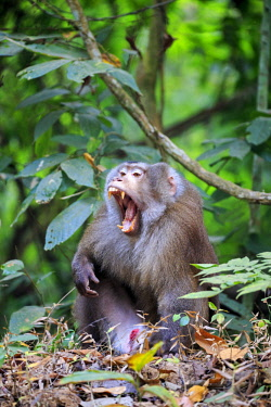 HMS2653596 India, Tripura state, Northern pig-tailed macaque (Macaca leonina)
