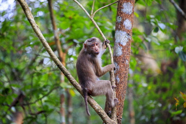 HMS2653597 India, Tripura state, Northern pig-tailed macaque (Macaca leonina)
