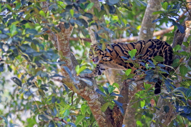 HMS2653599 India, Tripura state, Clouded leopard (Neofelis nebulosa)
