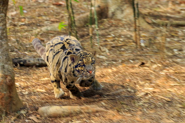 HMS2653600 India, Tripura state, Clouded leopard (Neofelis nebulosa)
