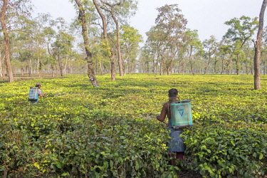 HMS2653602 India, Tripura state, tea plantation, chemical treatment
