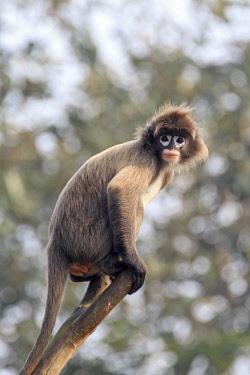 HMS2653604 India, Tripura state, Phayre's leaf monkey or Phayre's langur (Trachypithecus phayrei)