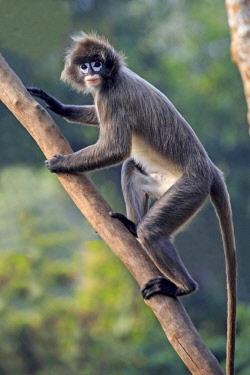 HMS2653605 India, Tripura state, Phayre's leaf monkey or Phayre's langur (Trachypithecus phayrei)