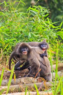 HMS2653606 India, Tripura state, Phayre's leaf monkey or Phayre's langur (Trachypithecus phayrei)