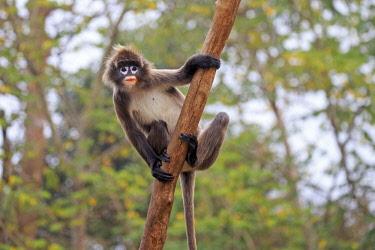 HMS2653609 India, Tripura state, Phayre's leaf monkey or Phayre's langur (Trachypithecus phayrei)