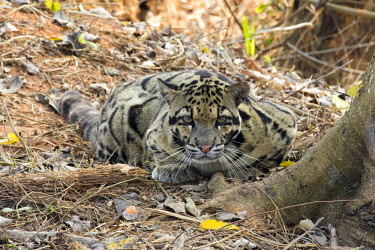 HMS2653613 India, Tripura state, Clouded leopard (Neofelis nebulosa)