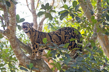 HMS2653614 India, Tripura state, Clouded leopard (Neofelis nebulosa)