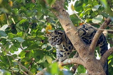 HMS2653616 India, Tripura state, Clouded leopard (Neofelis nebulosa)